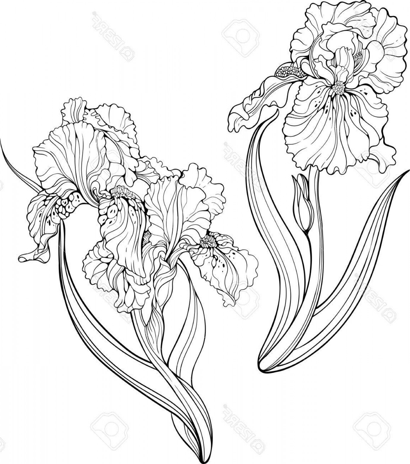 Iris Vector Art: Photostock Vector Two Isolated Black And White Iris Flowers Coloring Page