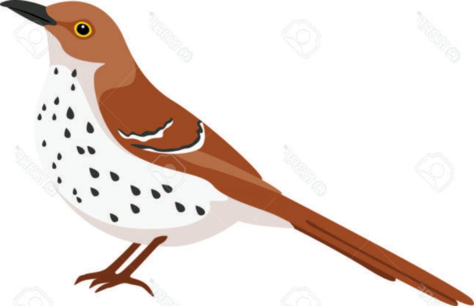 Thrasher Vector: Photostock Vector Use This Image Of A Thrasher In Your Next Design