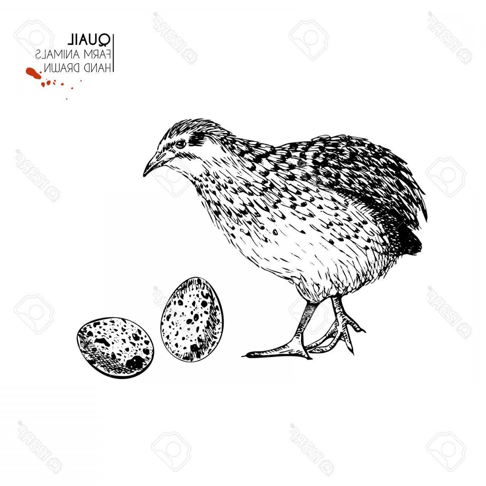 Quail Vector Art: Photostock Vector Vector Hand Drawn Set Of Farm Animals Isolated Quail Bird And Eggs Engraved Art Organic Sketched Far