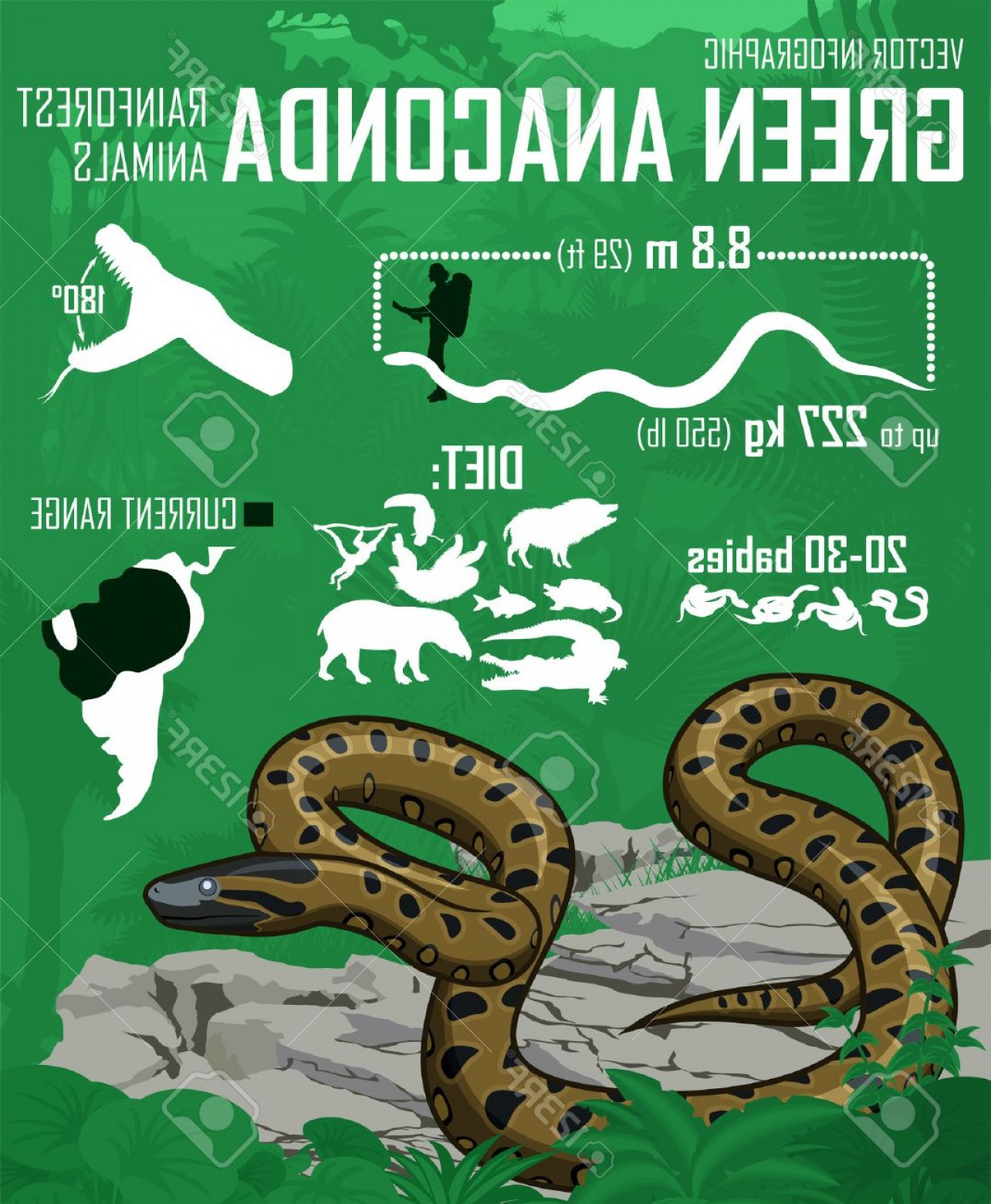 Vector Rainforest Anaconda: Photostock Vector Vector Jungle Green Anaconda Infographic
