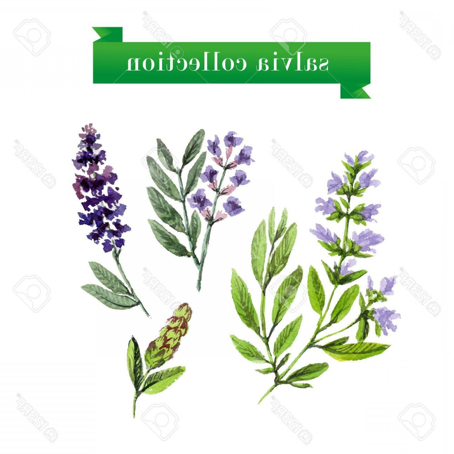 Sage Plant Vector: Photostock Vector Vector Set Of Watercolor Salvia Twigs On White Background Herbs Design