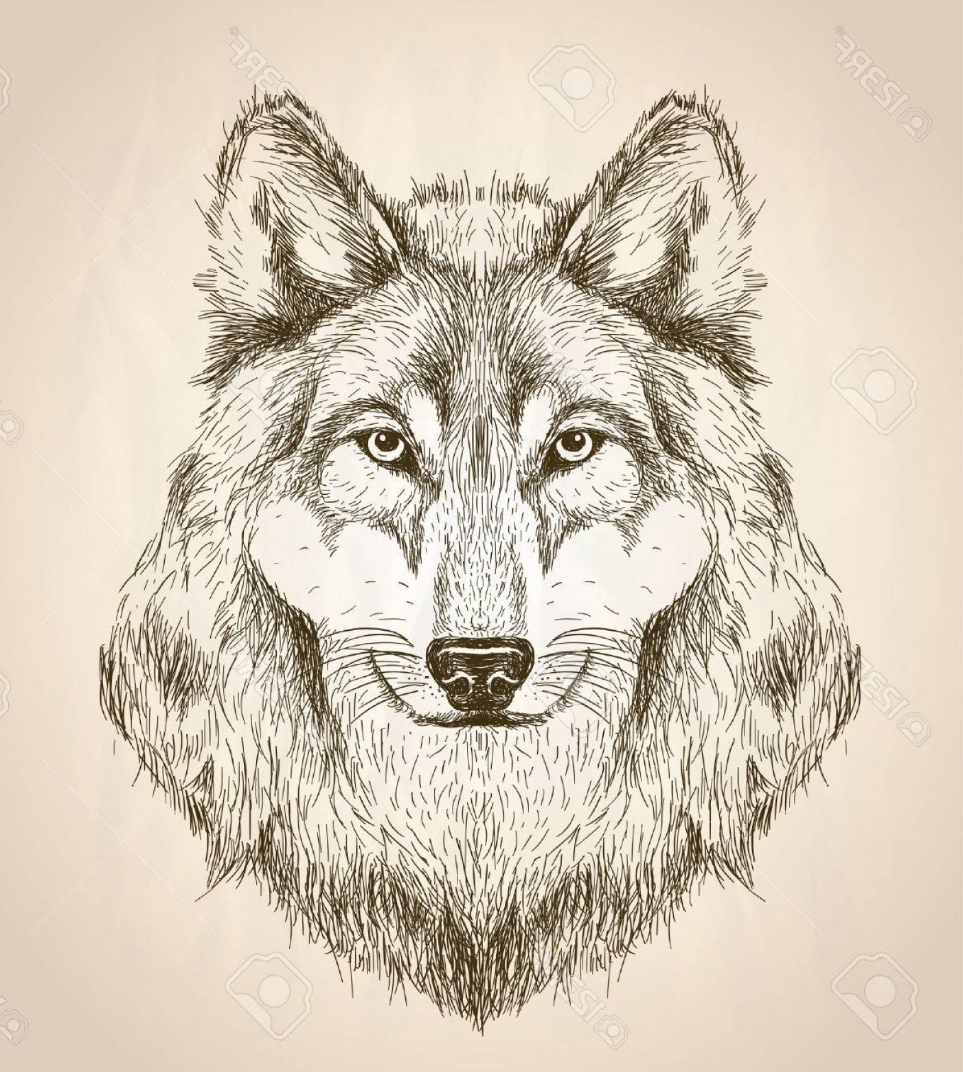 Calm Wolf Vector: Photostock Vector Vector Sketch Illustration Of A Wolf Head Front View Black And White Vector Wildlife Design