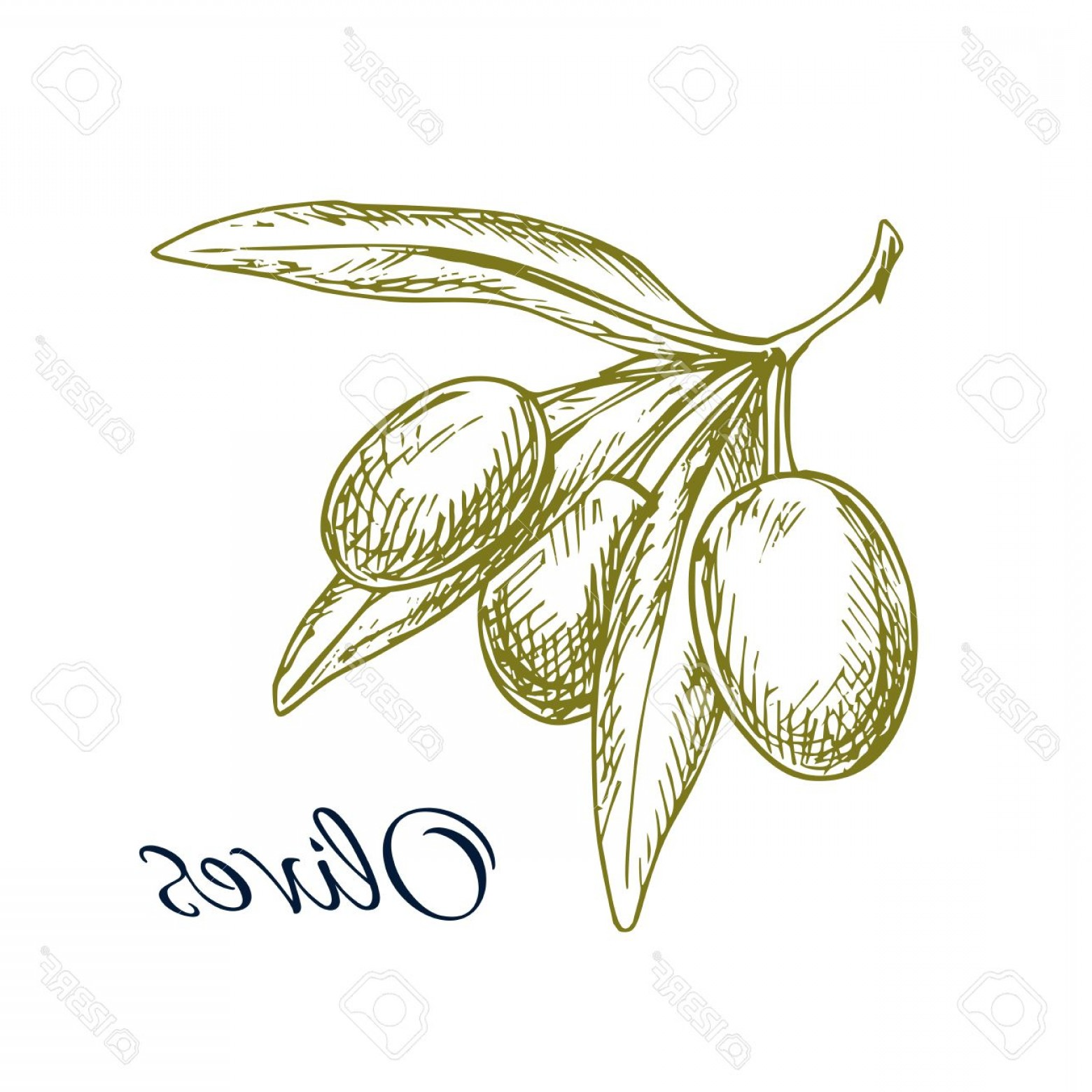 Olive Vector: Photostock Vector Vector Sketch Of Green Olive Bunch Icon Of Branch With Green Olives Vector Isolated Design For Olive