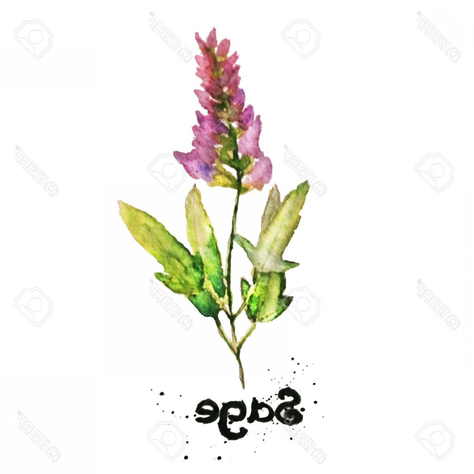 Sage Plant Vector: Photostock Vector Vector Watercolor Natural Sage Plant