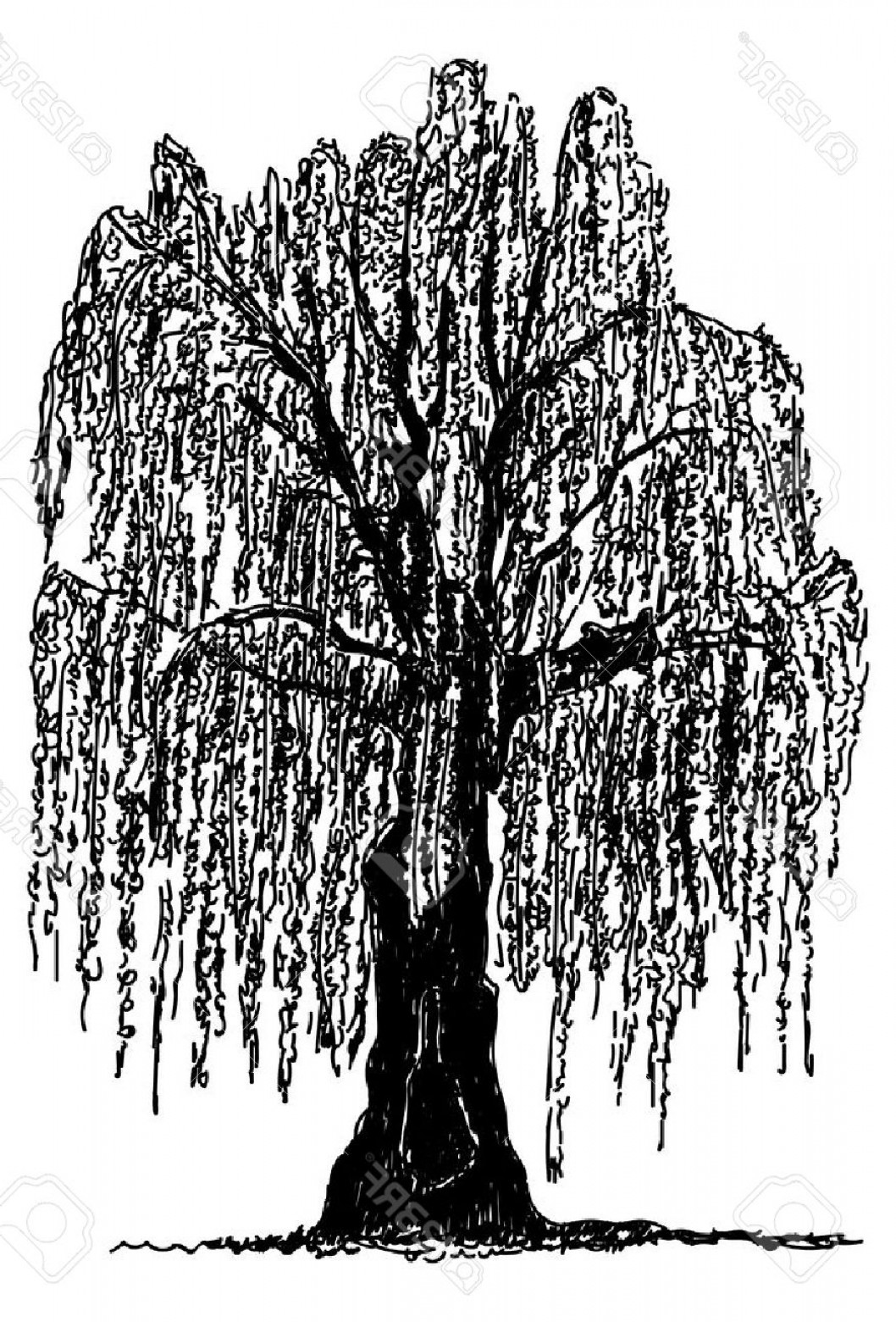 Vector Natural Willow: Photostock Vector Vector Weeping Willow Tree Isolated On Background