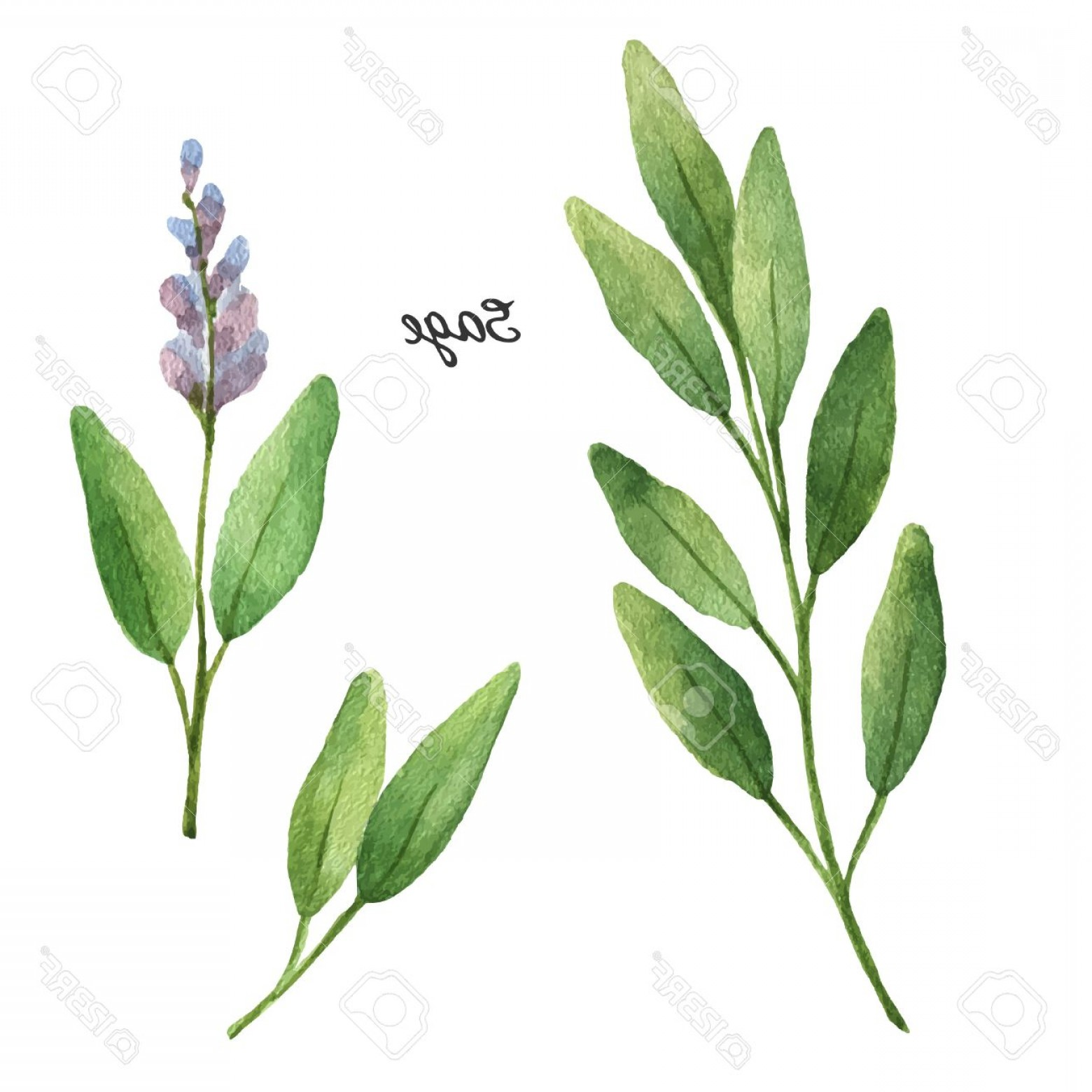 Sage Plant Vector: Photostock Vector Watercolor Branches And Leaves Of Sage Eco Products Isolated On White Background Watercolor Vector I