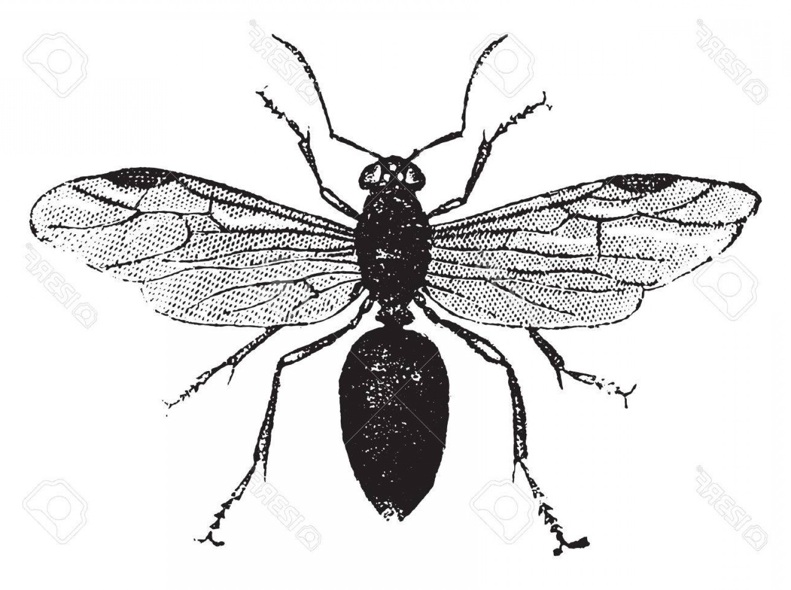 Termites With Wings Vector: Photostock Vector Winged Ant Vintage Engraved Illustration Natural History Of Animals