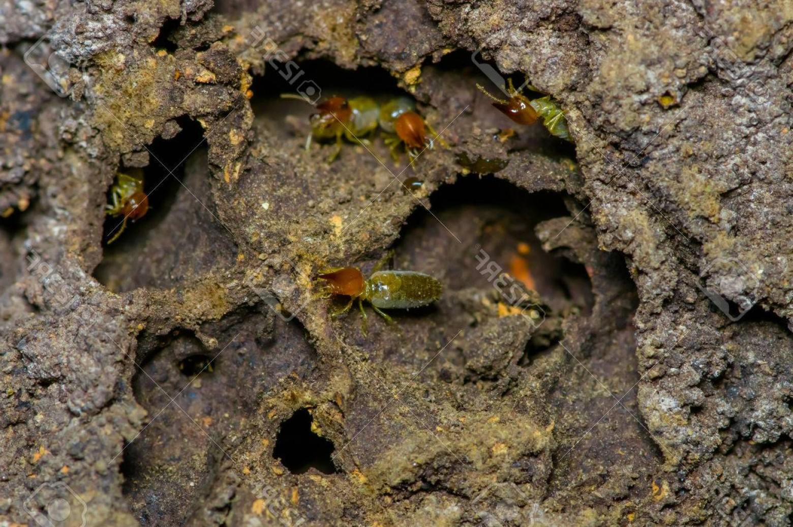 Termites With Wings Vector: Phototermites Insects In Colony Over Wood Inside Of The Amazon Rainforest In Cuyabeno National Park In Ec