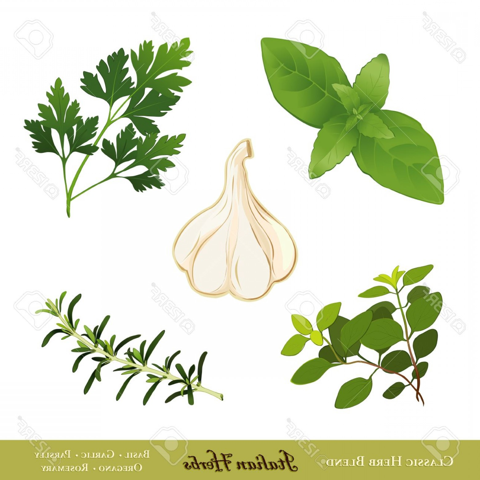 Basil Vector: Phototraditional Italian Herbs Sweet Basil Garlic Flat Leaf Parsley Oregano Rosemary Isolated On White