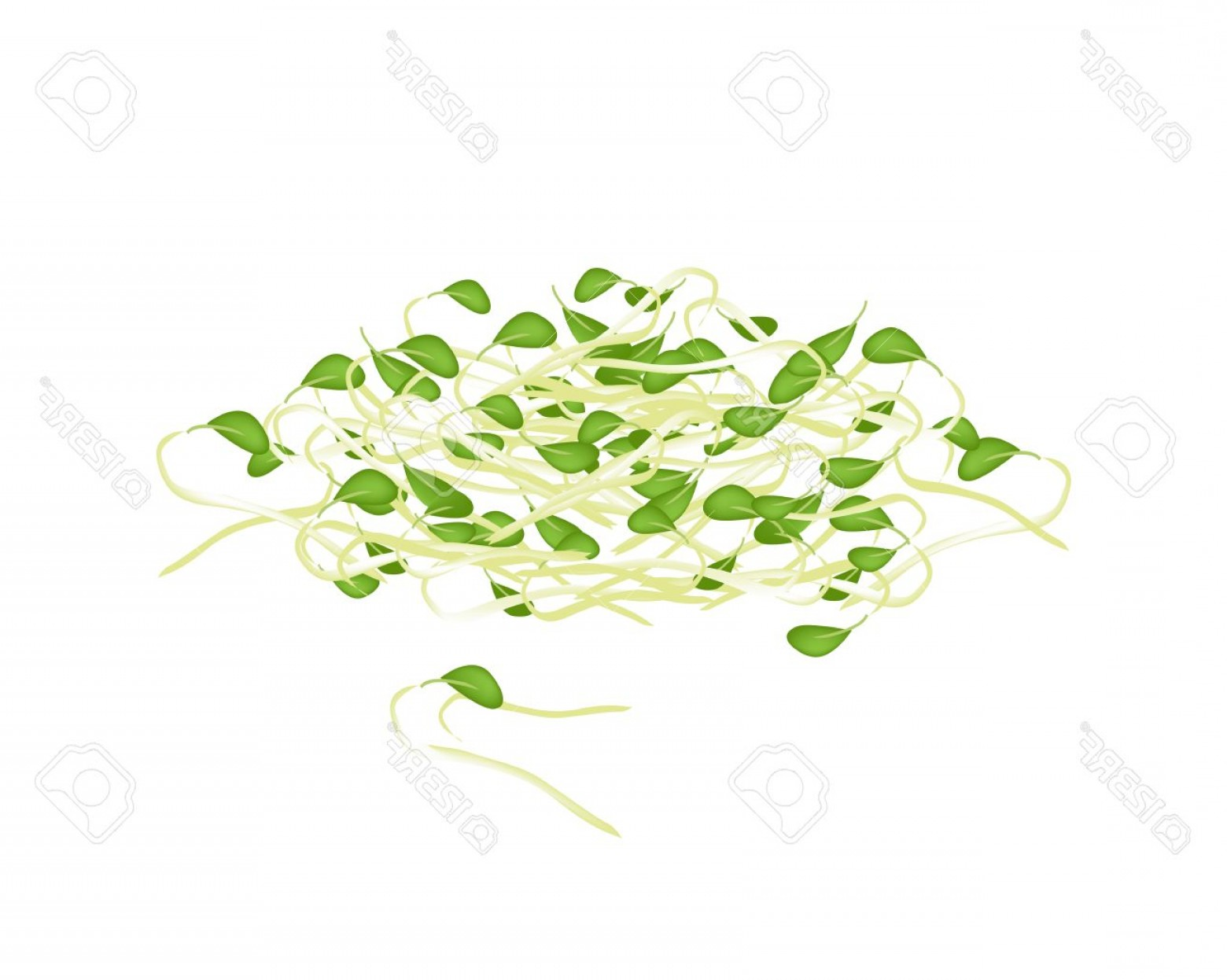 Alfalfa Sprouts Vector: Photovegetable Vector Illustration Of Fresh Bean Sprouts Or Pea Seedlings With Green Leaves Isolated On W