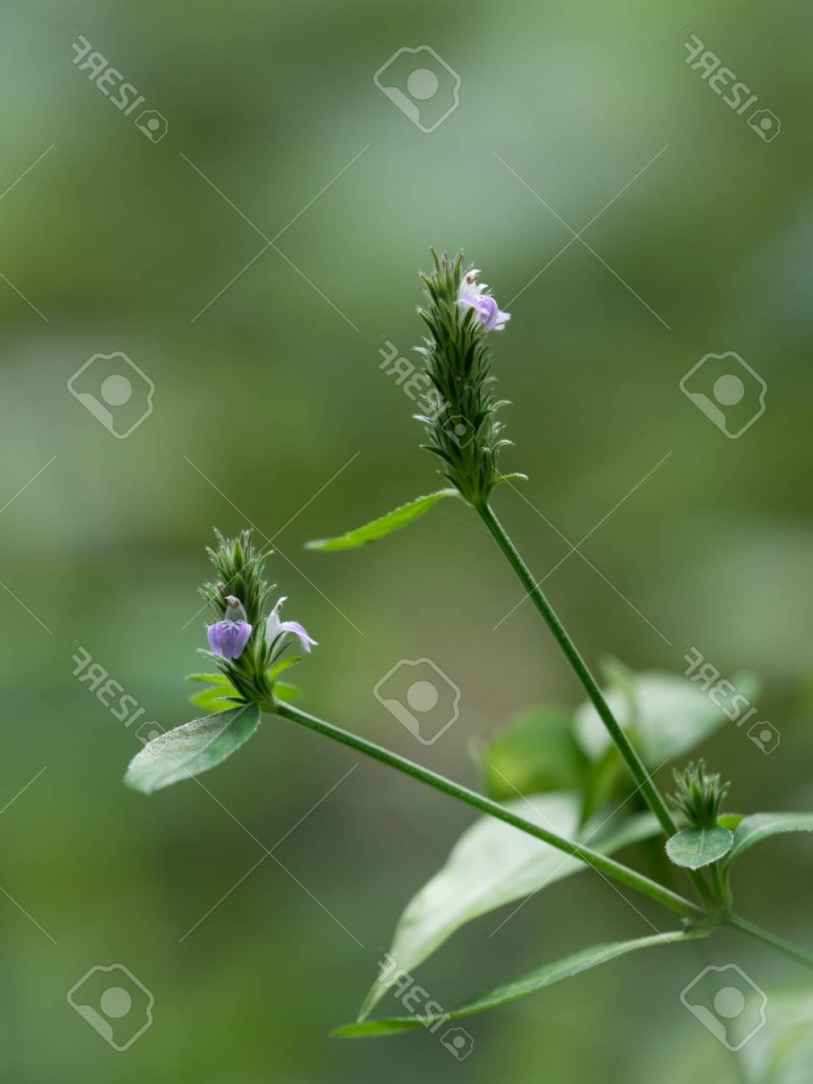 Vector Water Willow: Photovery Small Purple Weed Flower Water Willow