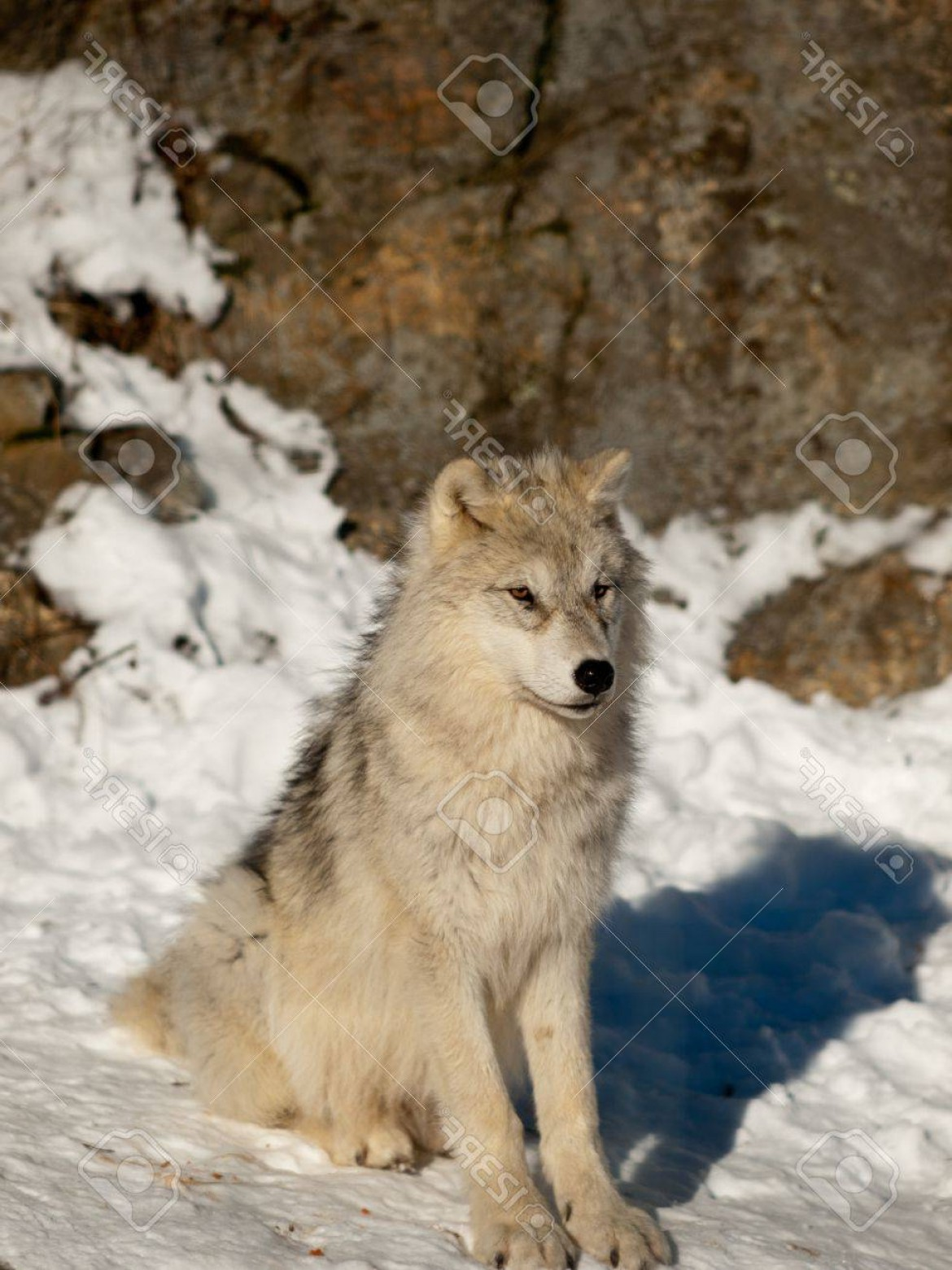 Calm Wolf Vector: Photoyoung Wolf Pup Calm Attentive Sitting In The Snow