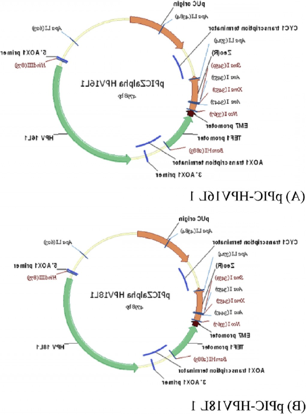 PUC Vector Expression: Physical Maps Of Recombinant Vector Containing The Hpvl Gene Insert A Ppic Hpvl Andfig