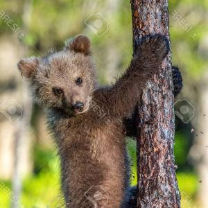 Climbing Bear Cub Vector: Photobrown Bear Cub Climbs A Tree Natural Habitat In Summer Forest Sceintific Name Ursus Arctos