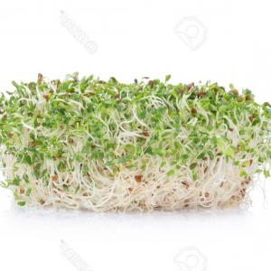 Alfalfa Sprouts Vector: Alfalfa Plant With Seeds And Flowers Vector Illustration Gm