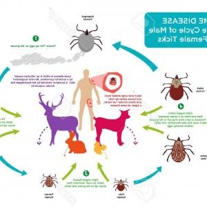 Vectors Diseases Caused By: Sheep Gets Immunization Against Diseases Caused By Vector