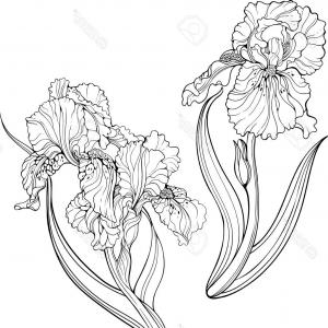 Iris Vector Art: Abstract Floral Background Iris Vector