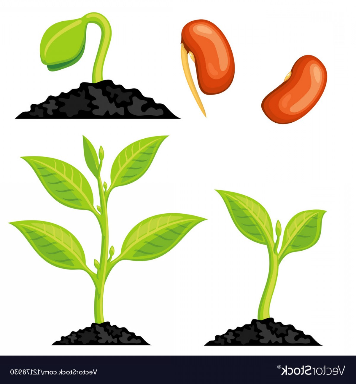 Seed Flower Vectors: Plant Growth Stages From Seed To Sprout Vector