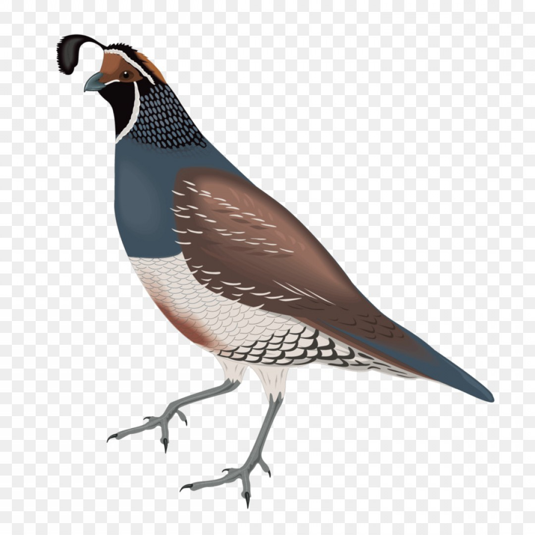 Quail Vector Art: Png Common Quail California Quail Clip Art Vector Spar