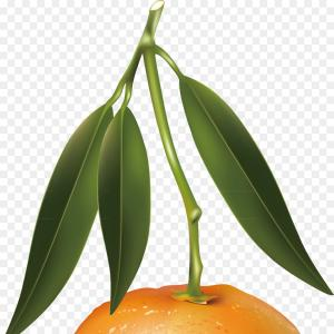 Realistic Orange Vector Illustrations: Png Tangerine Mandarin Orange Fruit Illustration Orang