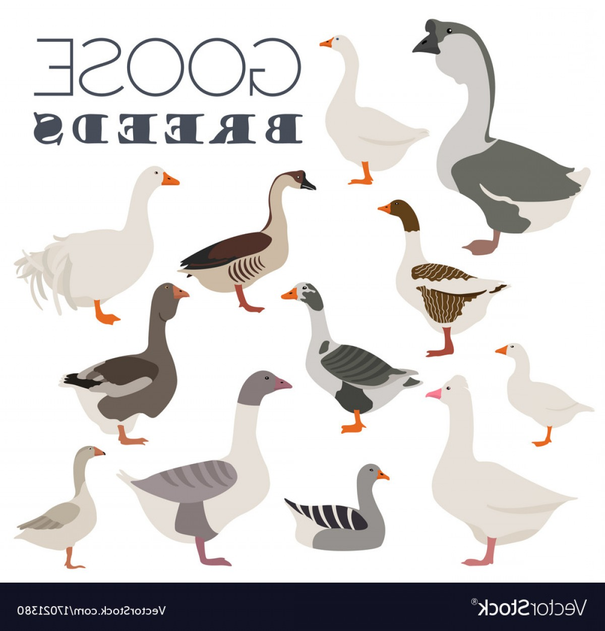 Geese Vector: Poultry Farming Goose Breeds Icon Set Flat Design Vector