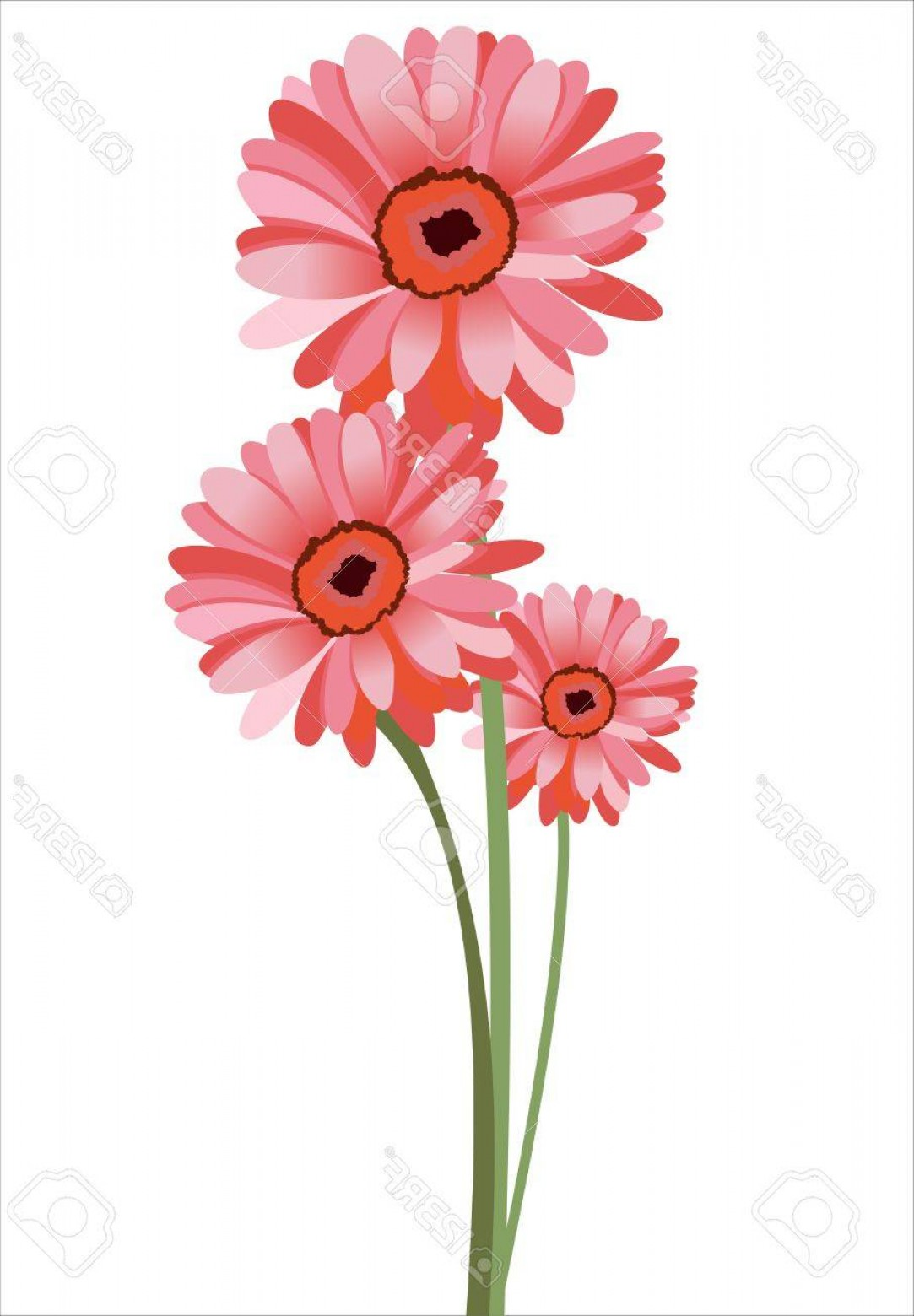 Orange Gerber Daisy Vector: Pretty Photopink Gerbera Flower Isolated On White