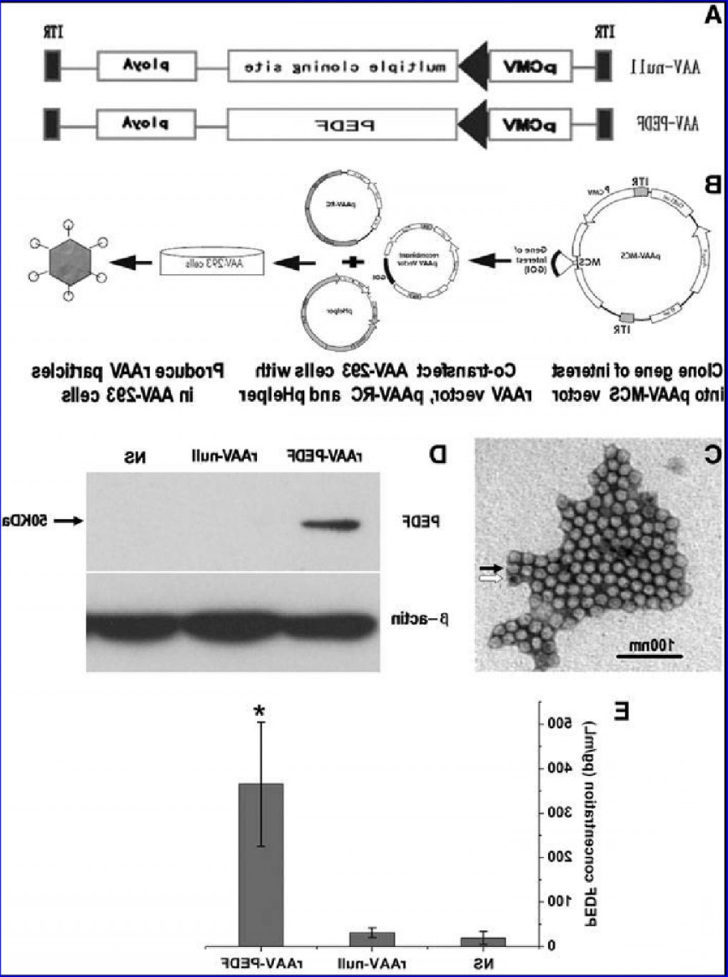 Cloning AAV Vectors: Production Scheme And Characterization Of Raav Pedf A Construction Scheme Forfig