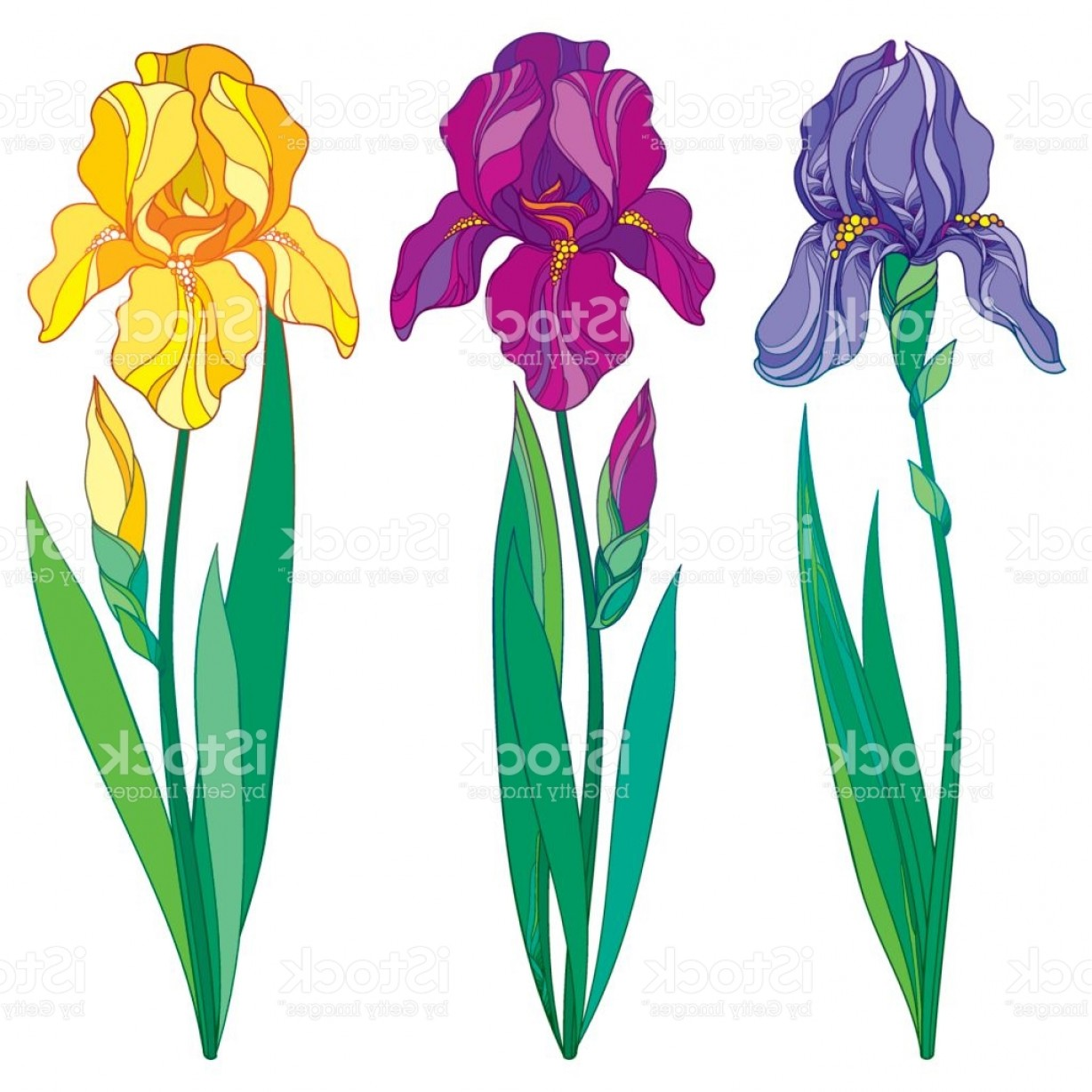 Iris Vector Art: Purple Lilac And Yellow Iris Flower Bud And Leaves Isolated On White Background Gm