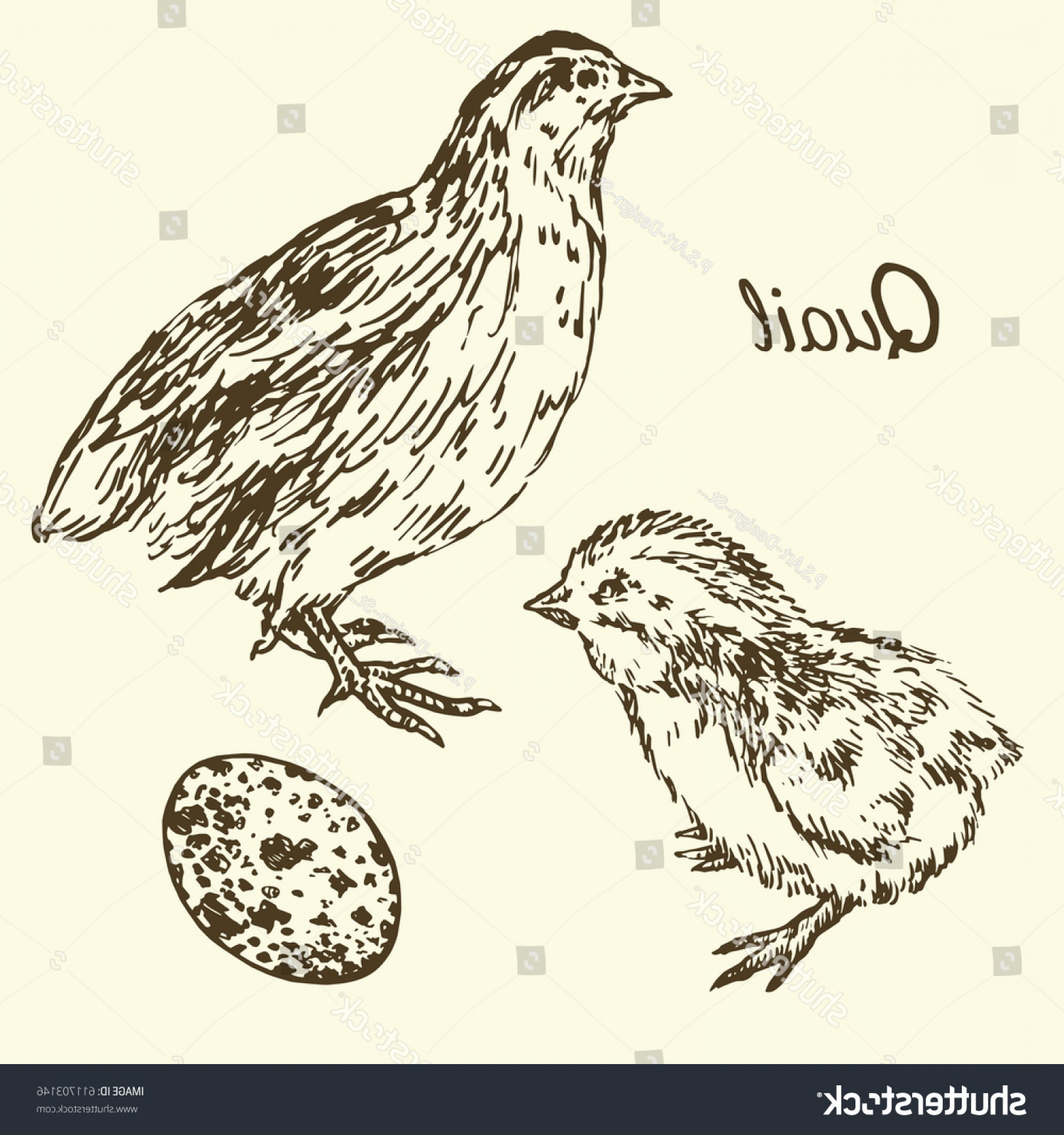 Quail Vector Art: Quail Quailpoult Egg Set Sketch Pop