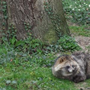 Mechanical Transmission Of Disease Vectors: Raccoon Dog Acute Vector Transmission