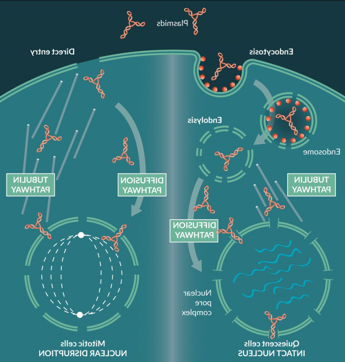 Episomal Expression Vector: Recent Advances In Non Viral Vectors For Gene Therapy Vaccination