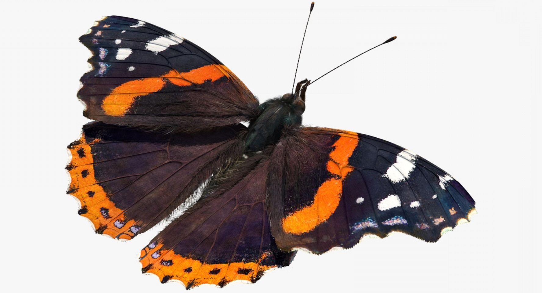 Real Butterfly Vector: Red Admiral Butterfly Fur Model