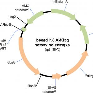 Mammalian Expression Vector: Plasmid Maps Of The Cmv Promoter Based Expression Vector Constructs A Pkcmvintblank Isfig