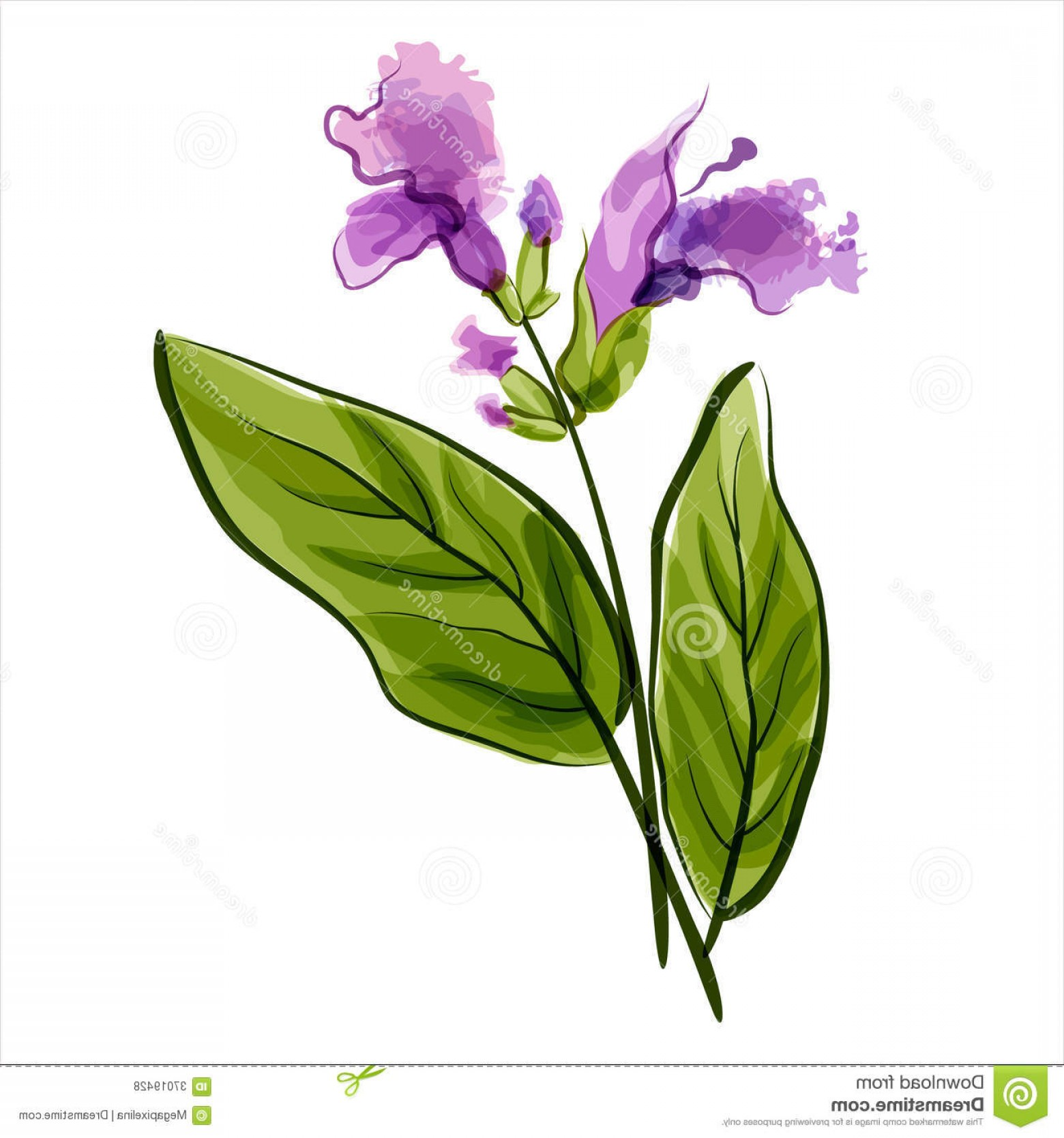 Sage Plant Vector: Royalty Free Stock Photos Salvia Sage Vector Illustration Meadow Flower Image