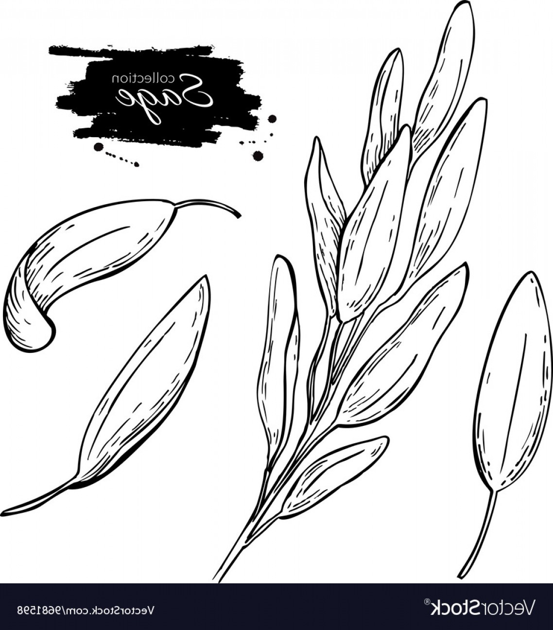 Sage Plant Vector: Sage Drawing Set Isolated Sage Plant With Vector