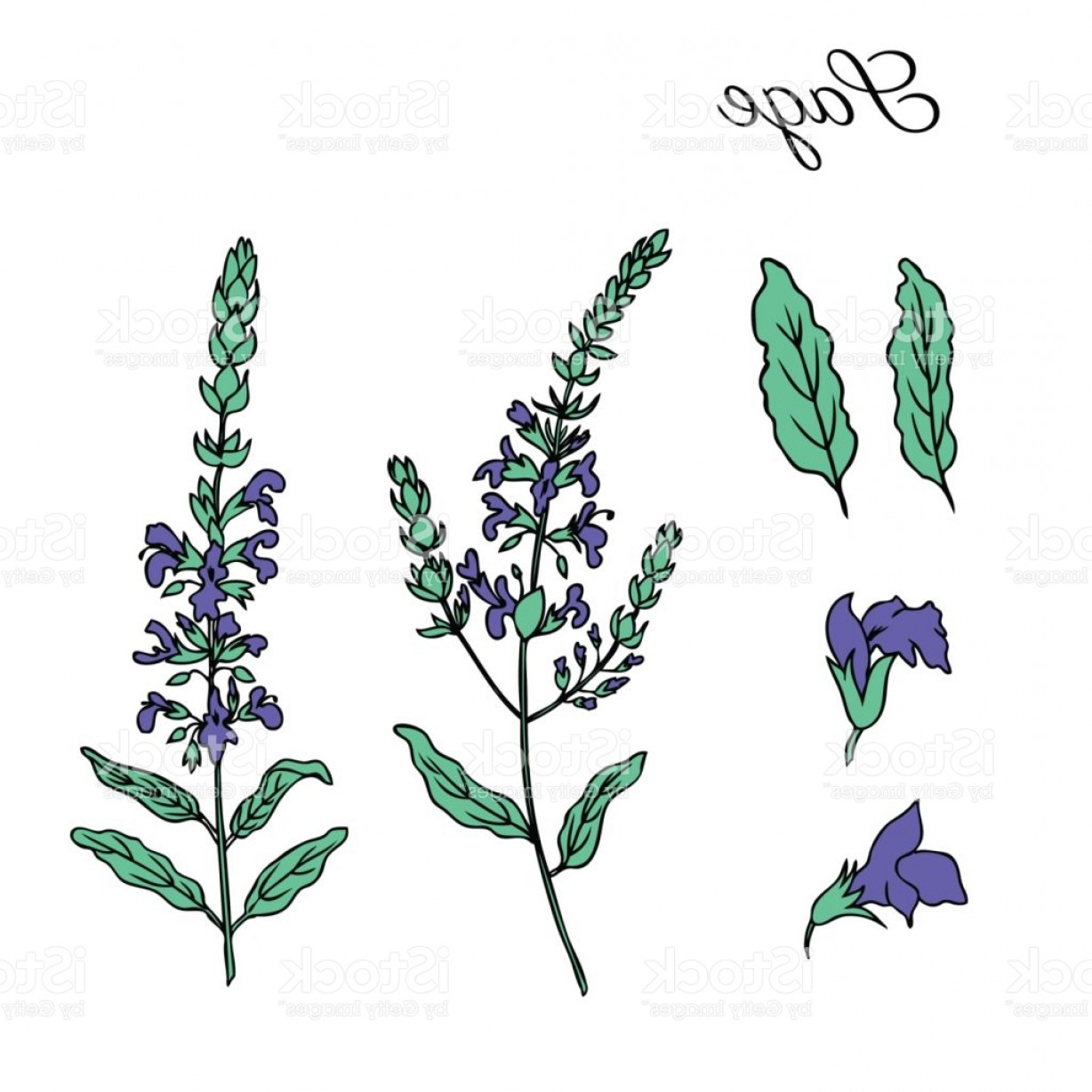 Sage Plant Vector: Sage Flower Vector Isolated On White Background Hand Drawn Ink Doodle Sketch Sage Gm