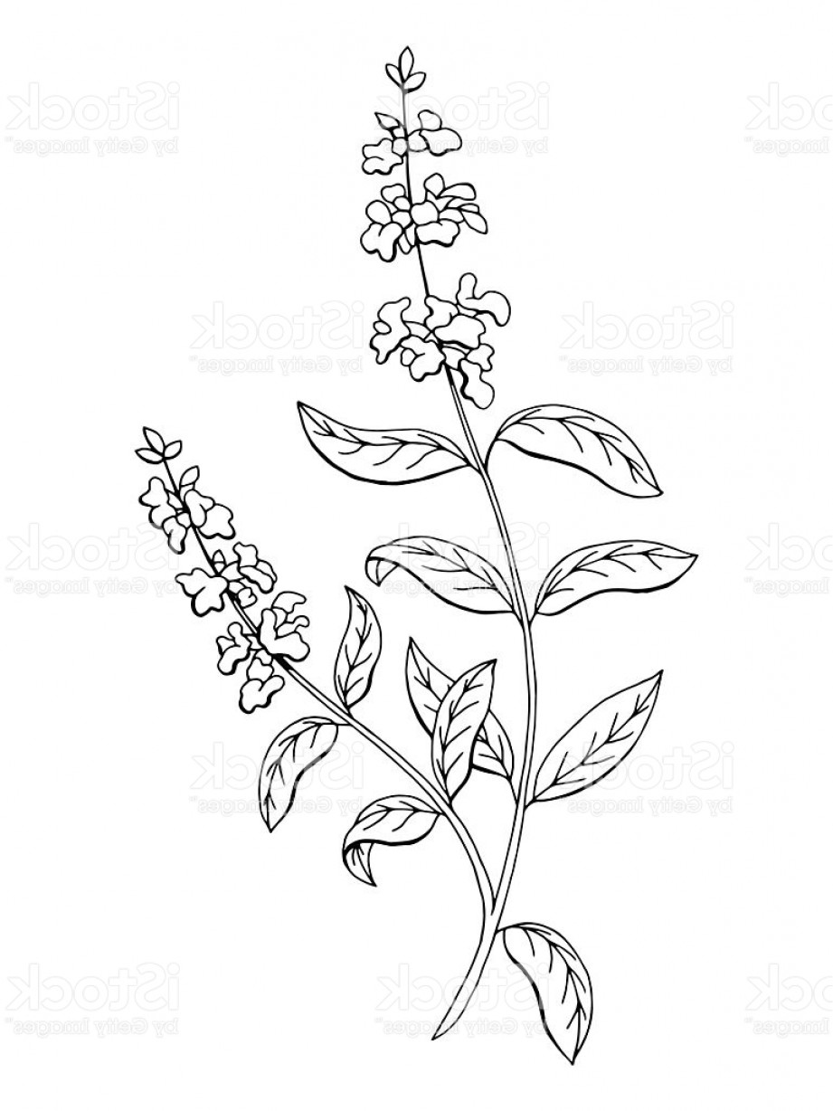 Sage Plant Vector: Salvia Sage Herb Flower Graphic Black White Isolated Sketch Vector Gm