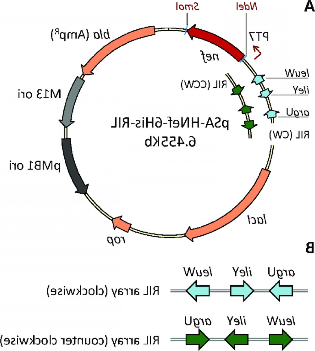 Pet22b Vector Map: Schematic Representation Of Expression Vector Psa Hnef His Ril A Map Offig