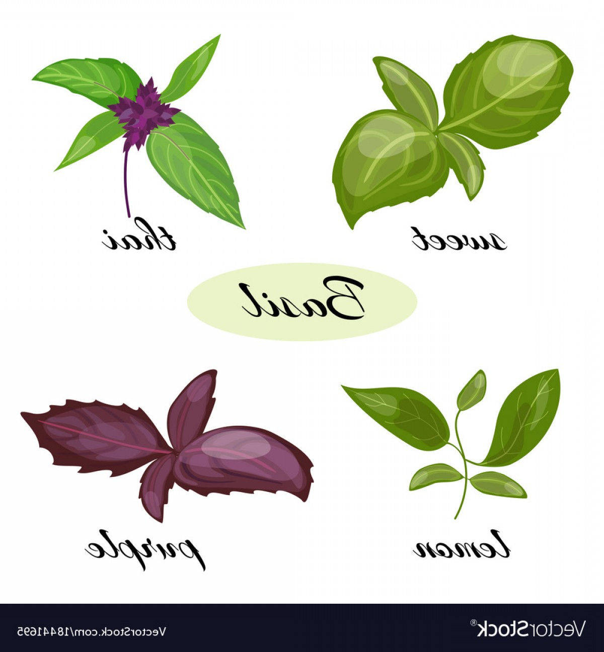 Basil Vector: Set Of Basil Leaves Different Types Of Basil Vector