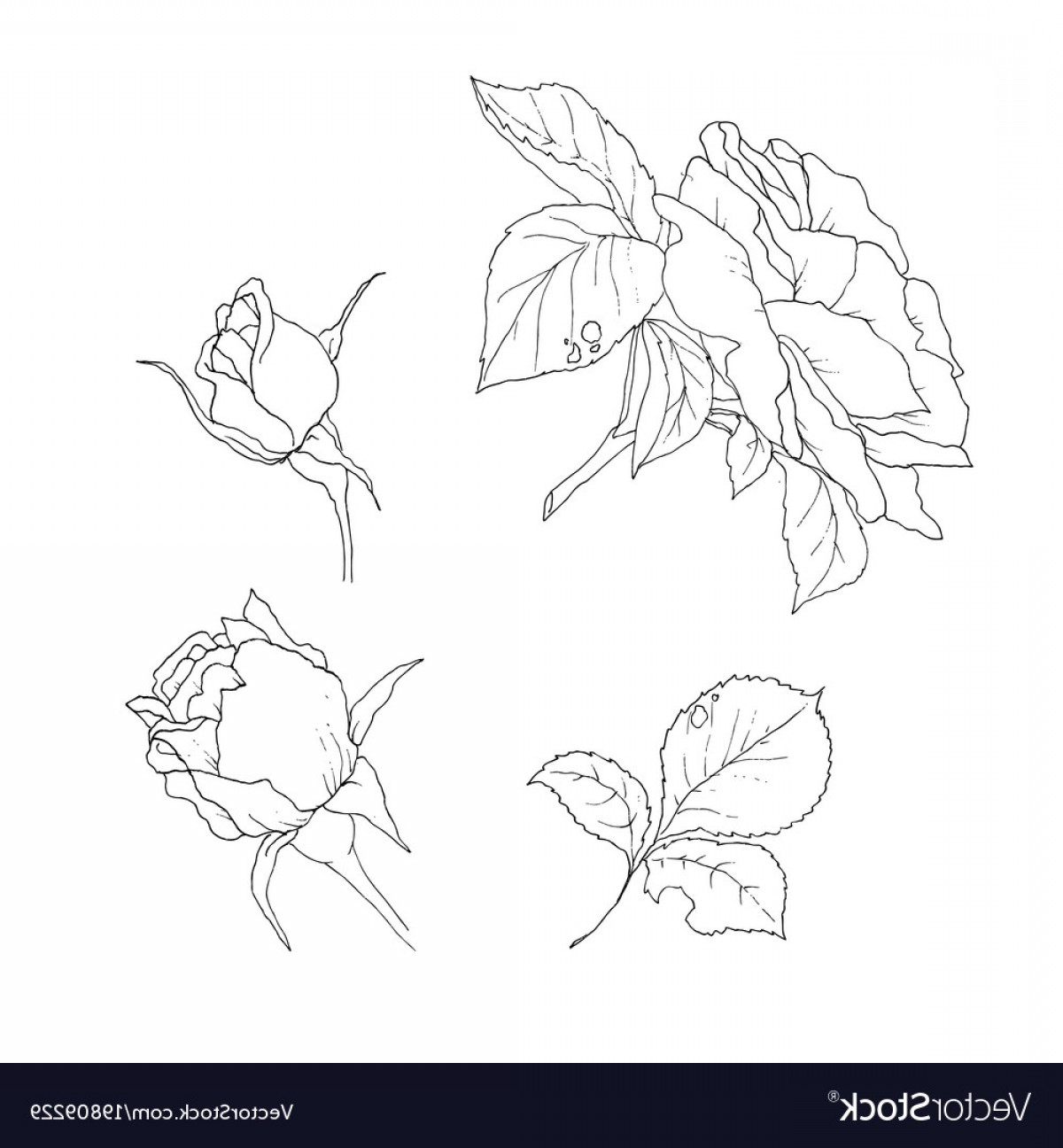 Bud Vector: Set Of Detailed Isolated Outline Rose Bud Vector