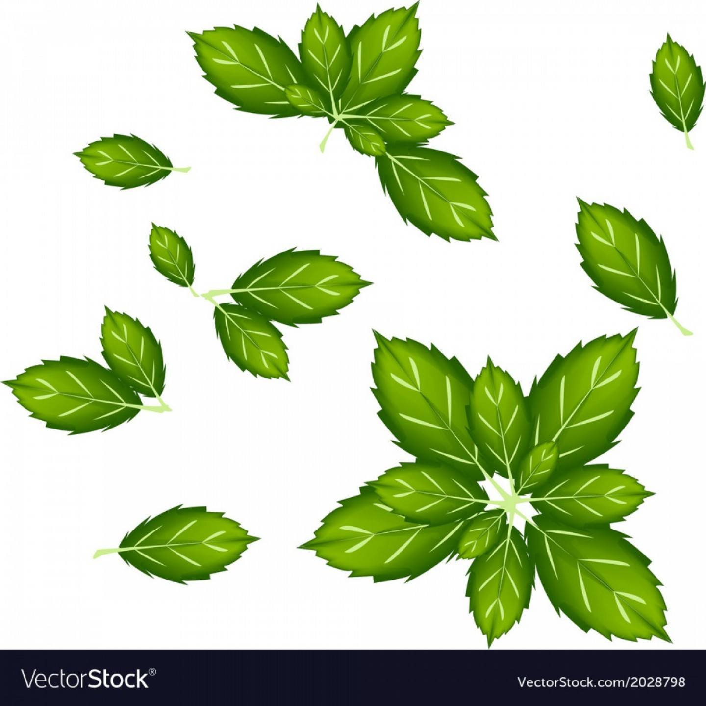 Basil Vector: Set Of Thai Basil Leaves On White Background Vector