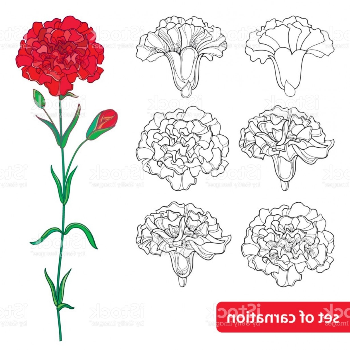 Bud Vector: Set With Carnation Flower Bud And Leaves Isolated On White Background Gm