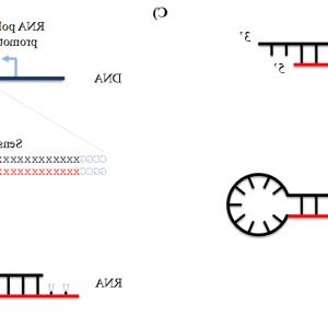 Plko Vector Cloning: Sirnas And Shrnas Tools For Protein Knockdown By Gene Silencing