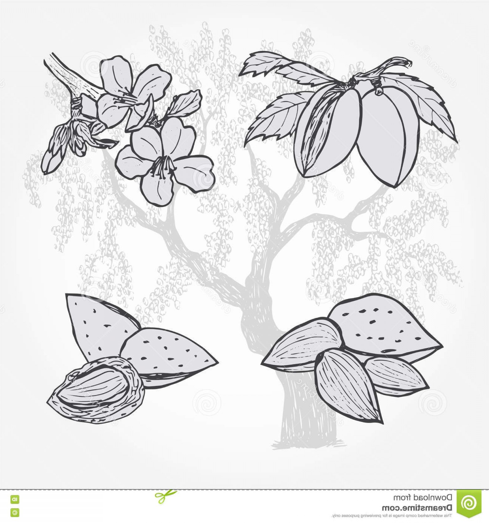 Stock Illustration Almond Tree Nuts Vector Sketch Illustration Image Createmepink