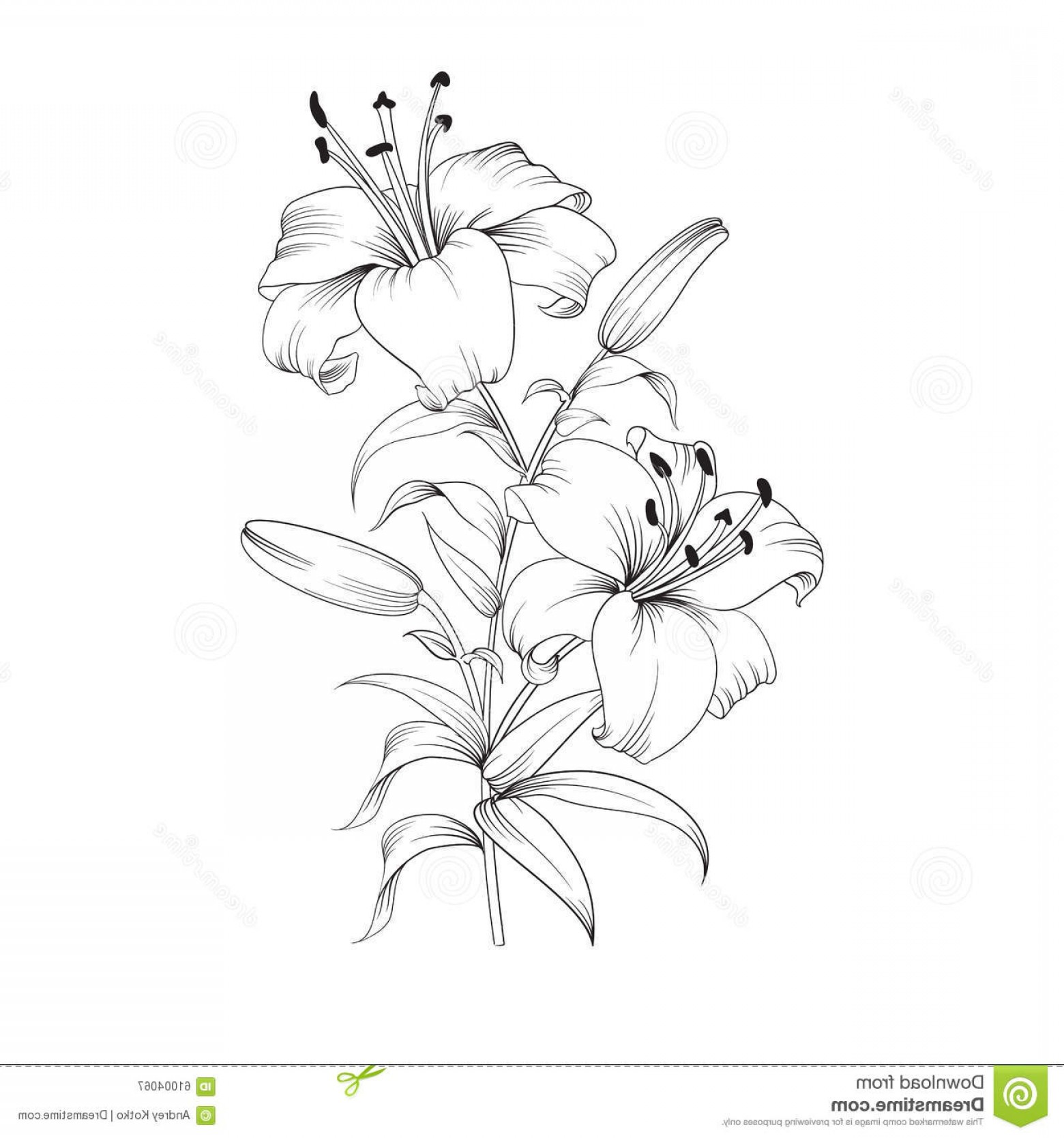 Lily Vector Art: Stock Illustration Blooming Lily Flower White Isolated White Background Card Vector Illustration Image
