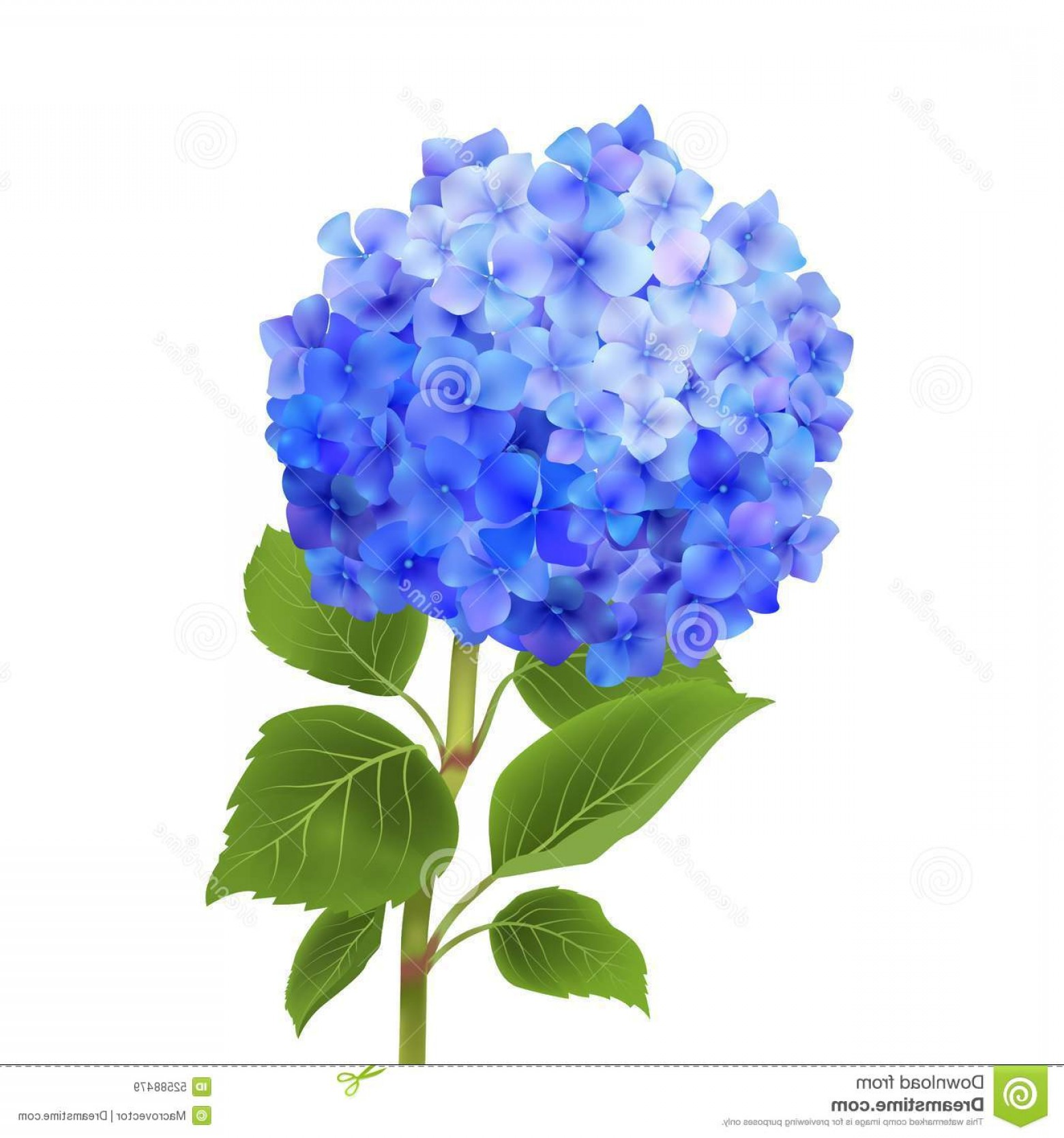 Hydrangea Vector Graphics: Stock Illustration Blue Hydrangea Isolated Realistic Flower White Background Vector Illustration Image