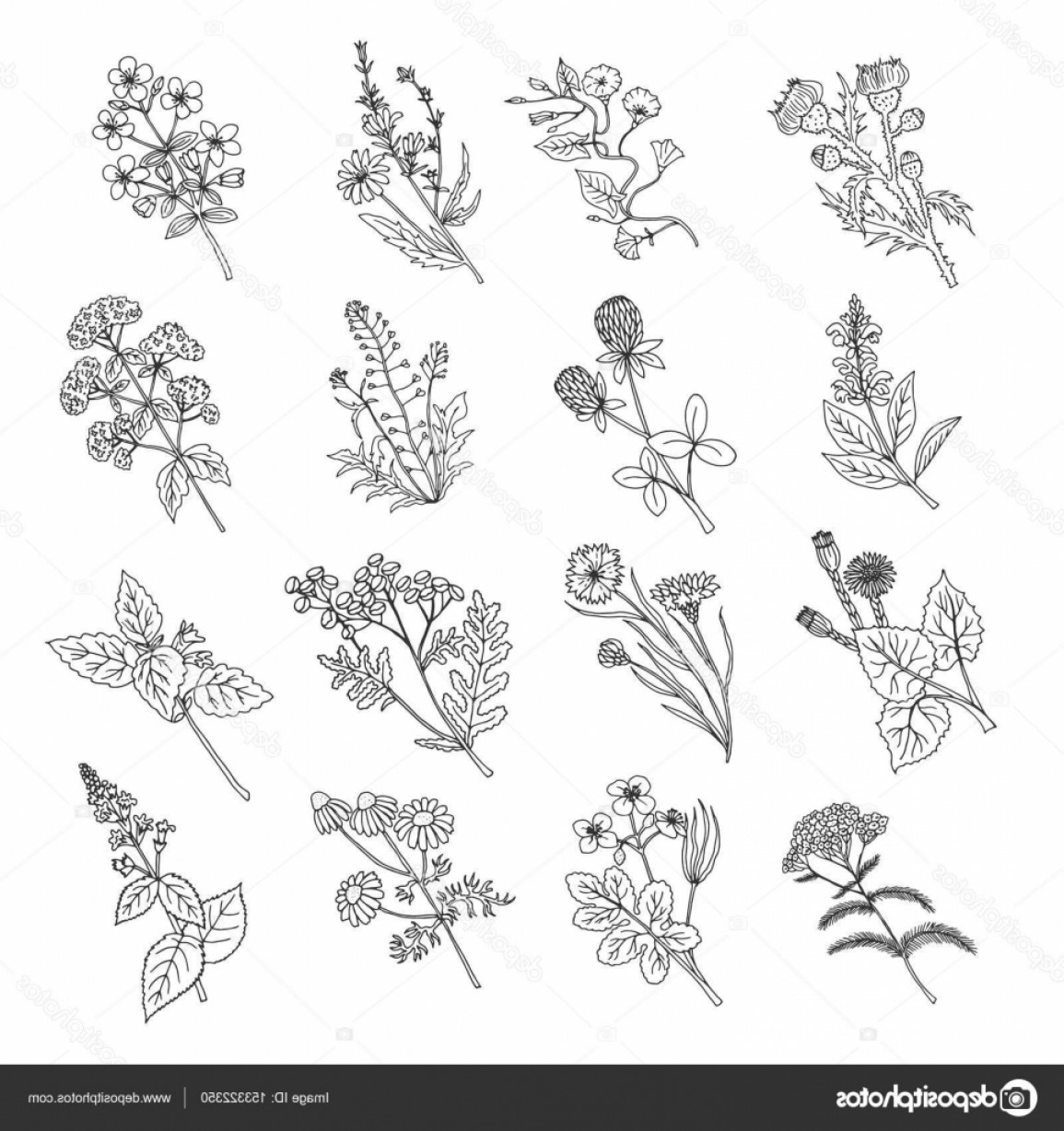 Botanical Flower Vectors: Stock Illustration Botanical Sketch Drawings Vector Illustration