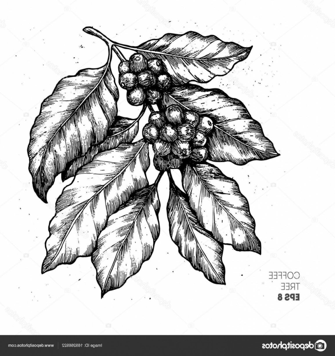 Coffee Tree Vector: Stock Illustration Coffee Tree Illustration Engraved Style