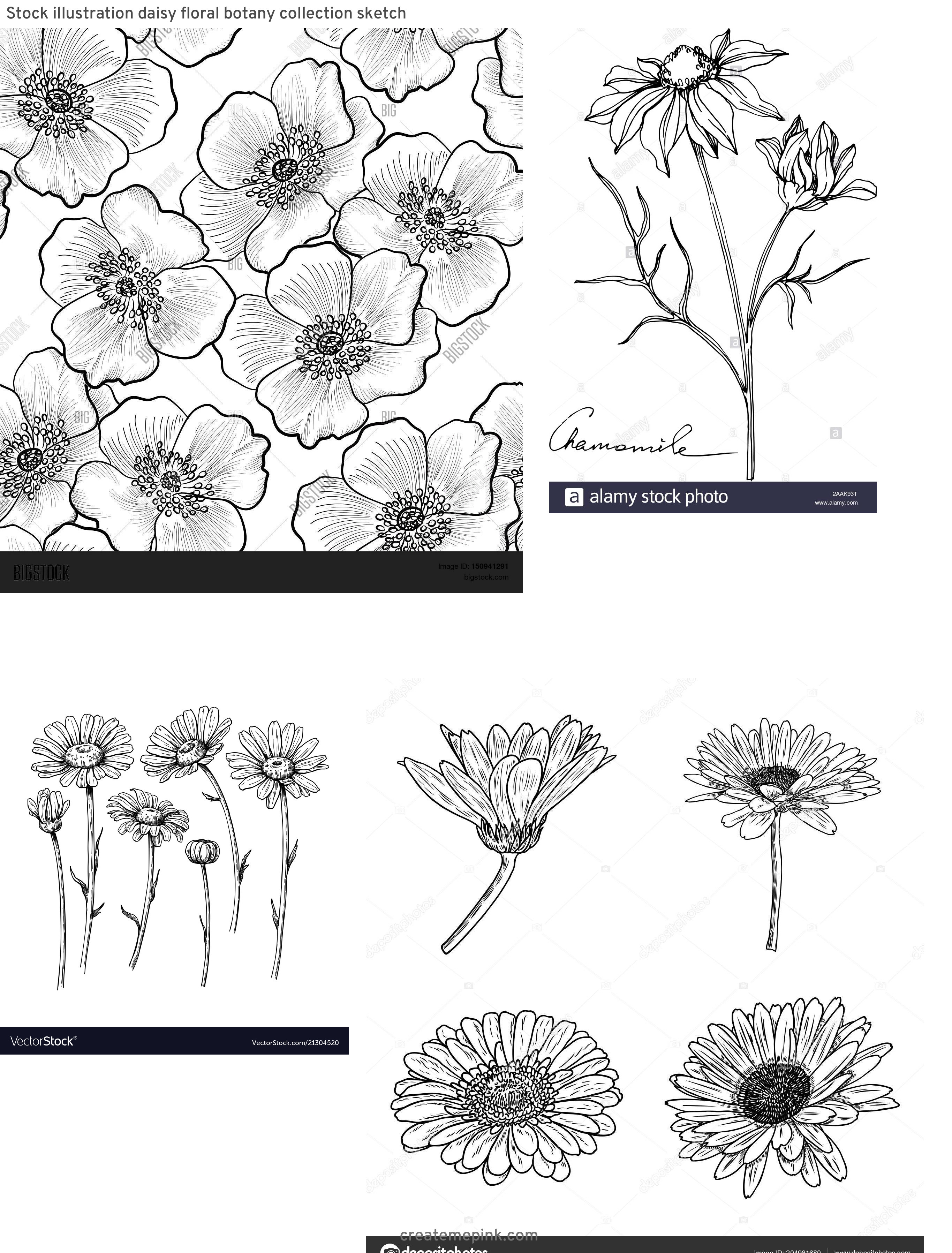 Flower Daisey Black Vector Art: Stock Illustration Daisy Floral Botany Collection Sketch