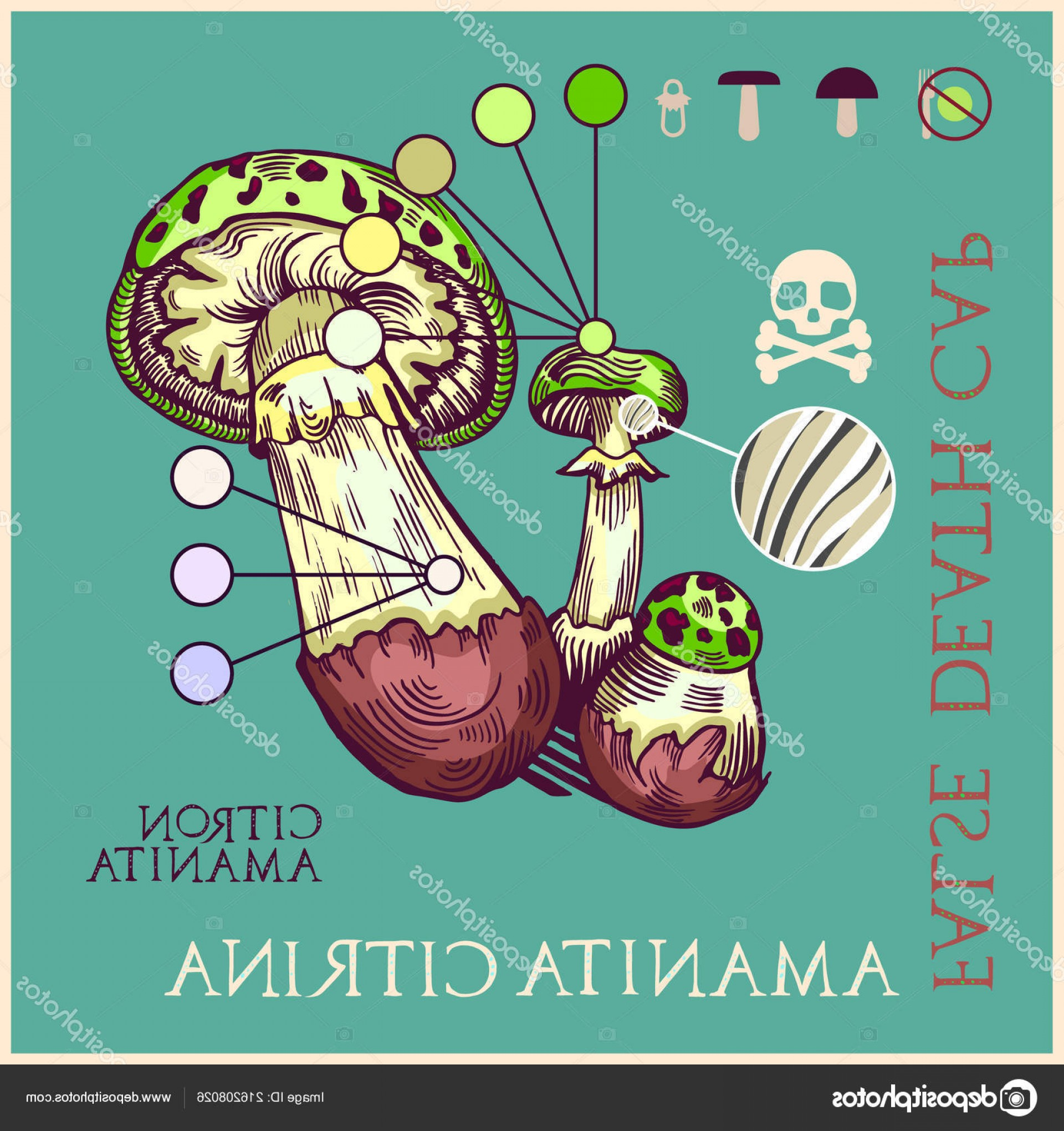 False Vector Style: Stock Illustration False Death Cap Mushroom Engraved